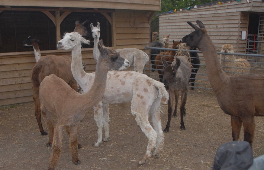 Shearing Day at The Llama Park